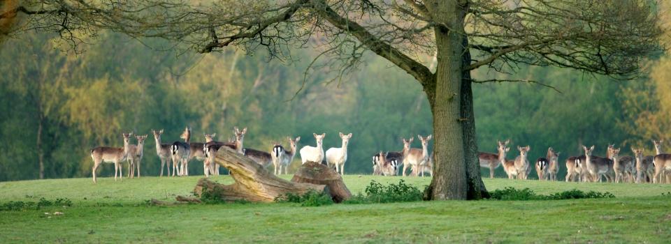 new-forest-deer